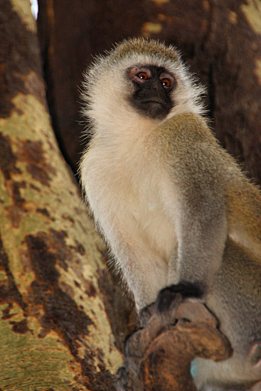 Indian Monkey Images LIVING TRAVEL - EAST A...