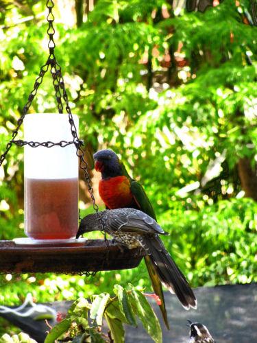 AUSTRALIAN BIRDS - BACKYARD BIRDS